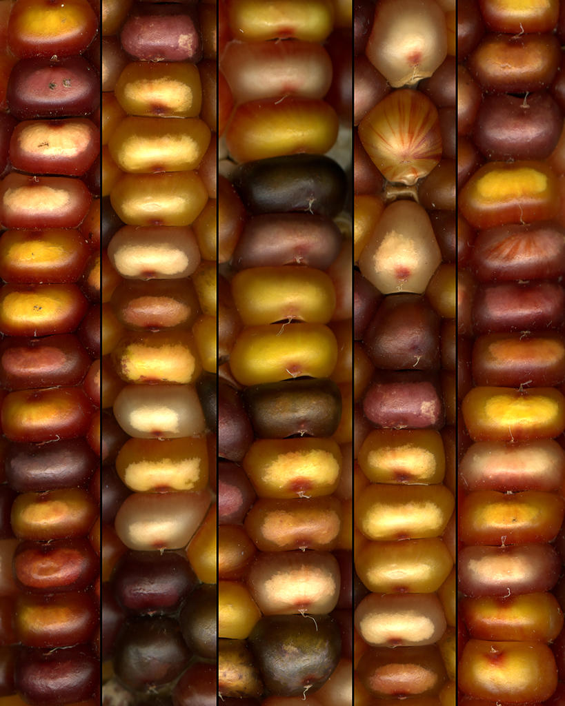 Corn Close up by Professor Margie Labadie